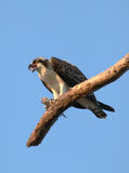 Osprey on a Dead Tree Eating Fish Stock Image