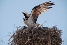 OSPREY defending nest in Baja California Stock Photography