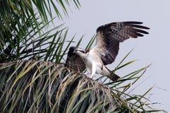 Osprey dei terreni paludosi Fotografie Stock Libere da Diritti