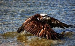 Osprey del este Fotos de archivo libres de regalías