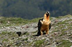 Osprey in den Pyrenees Stockfotografie