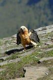 Osprey in den Pyrenees Lizenzfreies Stockfoto