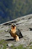 Osprey in den Pyrenees Lizenzfreie Stockfotos