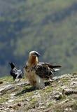 Osprey in den Pyrenees Stockfoto
