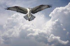 Osprey in den Wolken vor dem Sturm Lizenzfreies Stockfoto