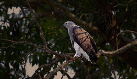 Osprey: Depredador y presa Fotografía de archivo