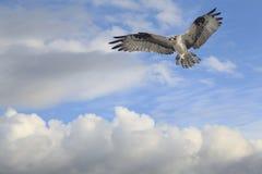 Osprey, der für eine Landung hereinkommt Stockfotos