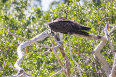 Osprey, der Fische isst Stockbilder
