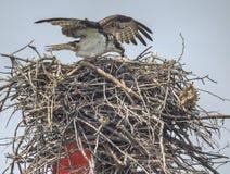 Osprey, der nahe dem Chesapeake-Schacht, Maryland verschachtelt stockfoto