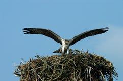 Osprey, der Nest verlässt Lizenzfreies Stockbild
