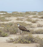 Osprey in a desert wilderness Royalty Free Stock Photography
