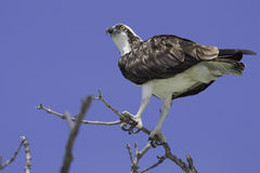Osprey Detail Royalty Free Stock Photography