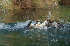 An Osprey dives into the water to catch a trout stock photos