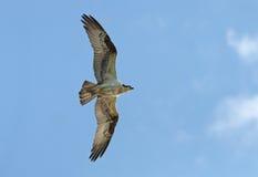 Osprey do vôo com propagação das asas Imagem de Stock Royalty Free