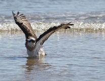 Osprey drying wings. The osprey dries its wings after bathing Royalty Free Stock Image
