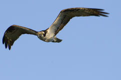 Osprey durante il volo Fotografia Stock