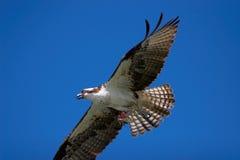 Osprey durante il volo Fotografia Stock Libera da Diritti