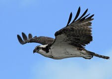 Osprey durante il volo con cielo blu Fotografia Stock