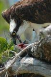 Osprey e preda Fotografia Stock Libera da Diritti