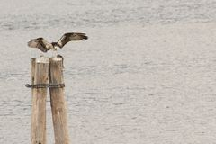 Osprey e preda Immagine Stock