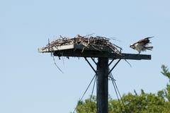 Osprey e un bambino ad un nido immagini stock libere da diritti