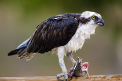 An Osprey eating a fish. An Osprey has caught a catfish and is eating it for breakfast Stock Image