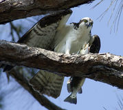Osprey eating fish Royalty Free Stock Photos
