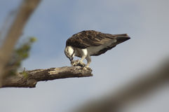 Osprey eating fish on branch 2 Royalty Free Stock Photography