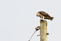 Osprey eating fish Royalty Free Stock Images
