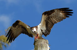 Osprey eating fish on a light pole Stock Image