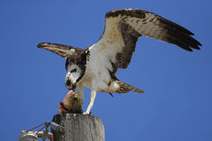 Osprey eating fish on a light pole Stock Images