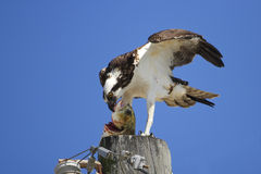 Osprey eating fish on a light pole Royalty Free Stock Images