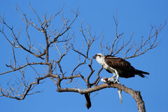Osprey eating fish on a tree Stock Photos