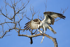 Osprey eating fish on a tree Stock Image