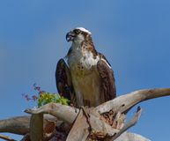 Osprey eating fish in tree Stock Photography