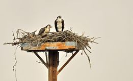 Osprey eating fish Stock Photos