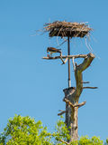 Osprey  eating freshly caught fish at his nest Royalty Free Stock Photo