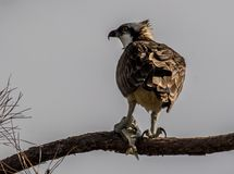 Osprey eating lunch in a tree stock images