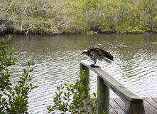 Osprey eating mullet fish in Florida. Stock Photo