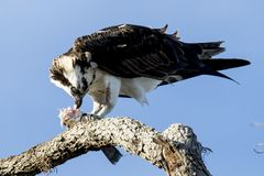 Osprey eats a Fish on a Branch. An Osprey, Pandion haliaetus, eats a freshly caught fish as it sits on a tree branch near Titusville, Florida Stock Photography