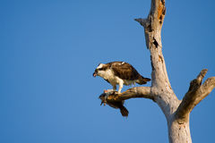 An Osprey eats a flounder. An Osprey clutches in his talons and eats a flounder for breakfast Stock Photo