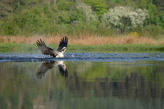 Osprey emerging from Loch. An Osprey emerging from a Scottish Lock where it is fishing for trout Royalty Free Stock Photo
