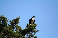 Osprey empoleirado em filiais Fotografia de Stock