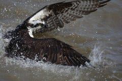 Osprey en el agua que ata pescados Fotos de archivo