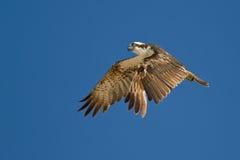 Osprey en el aire Fotografía de archivo
