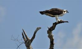 Osprey en México Fotos de archivo libres de regalías