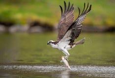 Osprey en Maine fotografía de archivo