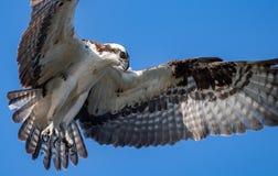 Osprey en Maine foto de archivo libre de regalías