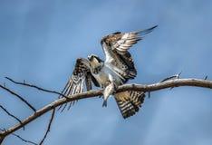 Osprey en un árbol que sostiene un pescado en garras Fotos de archivo