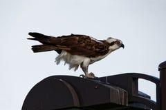 Osprey en un poste ligero Foto de archivo